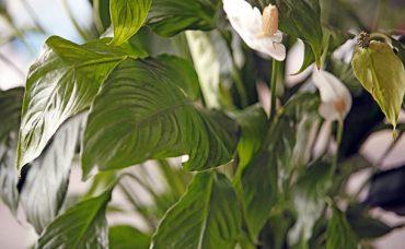 Büyük Yapraklı Bitkilerin Bakımı Nasıl Yapılır?