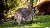 Kadifeden Kesesi: Kangurular Hakkında 5 Şaşırtıcı Gerçek!