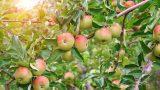 Elma Diyeti ve Faydaları