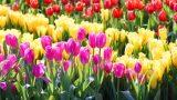 Okumadan Çiçek Almayın: Hangi Çiçek Hangi Anlama Geliyor?